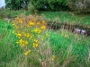 Strabane-Canal-Yellow-Flowers